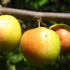 Ziziphus fruit in Mozambique